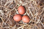 stock photo of laying eggs  - Three hen chicken eggs laying in a straw nest - JPG