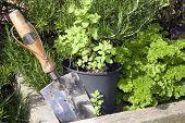 foto of trowel  - stainless steel garden trowel in a herb garden in Ireland - JPG