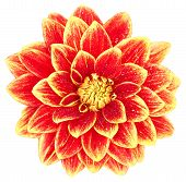 Dahlia, Orange, Yellow Colored Flower Head On White Background