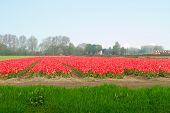 Dutch yellow tulip fields in sunny day