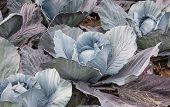 Organic Cultivated Red Cabbages From Close