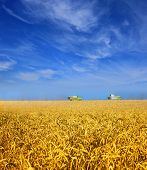 Modern combines work in a wheat field