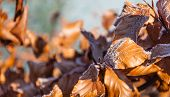 Frosted Brown Beech Leaves In Early Morning Sunlight