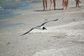 Juvenile Laughing Gull In Flight With Beachgoers In The Background