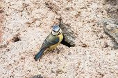 picture of tit  - Blue tit nesting in an old wall - JPG