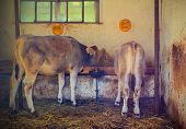 picture of calf  - Two calf in the barn eating hay - JPG