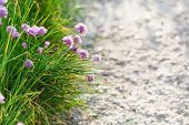 picture of chive  - natural background  - JPG