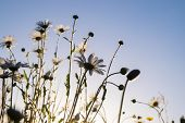 stock photo of pov  - Daisies in a field taken in the evening as the sun was setting - JPG