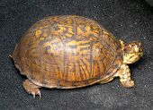 stock photo of terrapin turtle  - This box turtle was crossing a highway and he never would have made it across - JPG