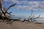 picture of shoreline  - Branches of an old fallen oak tree reach out toward the shoreline of Jekyll Island - JPG
