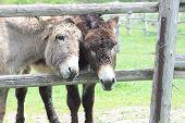 stock photo of donkey  - A pair of donkey - JPG