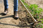 picture of hoe  - Manual processing of the ground with hoe in a tomatoes cultivation - JPG