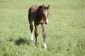 picture of foal  - a small brown Warmblood foals running on a pasture - JPG
