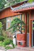 picture of bonsai  - Bonsai tree in garden - JPG