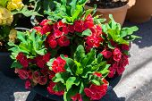 pic of thorns  - Crown of thorns flower in the garden - JPG