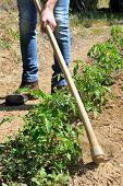 image of hoe  - Manual processing of the ground with hoe in a tomatoes cultivation - JPG
