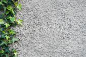 pic of ivy  - Roughly plastered gray wall with climbing ivy  - JPG