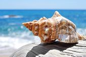picture of conch  - closeup of a conch on an old washed - JPG