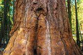 foto of sequoia-trees  - Giant Sequoia Bark Closeup - JPG