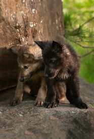 pic of lupus  - Grey Wolf (Canis lupus) Pups Look Down off Rock - black and brown - captive animals ** Note: Visible grain at 100%, best at smaller sizes - JPG