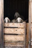 Curios Sheep