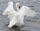 Trumpeter Swan (Cygnus buccinator) Flaps Wings & Paddles Feet