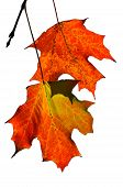 stock photo of fall leaves  - two maple leaves on white - JPG
