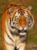Portrait Of A Slobbering Siberian Tiger