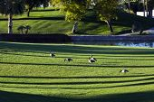 Geese On A Lawn
