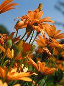 Light Orange Gerbera Flowers