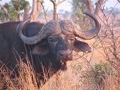 Close Up Of Head African Buffalo