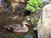Duck In Small Pond