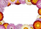 Strawflower Frame With White Background