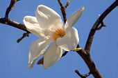 Beautiful Soft White Magnolia Flower And The Blue Sky poster