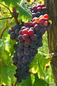 stock photo of moscato  - a closeup shot of a grape in an italian vineyard - JPG