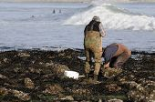 image of clam digging  - A pair of clam diggers moving rocks looking for the mollusc - JPG
