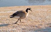 Goose Walking In Snow