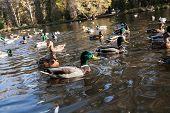 Close-up Wild Drakes And Ducks On Pond Of Urban Park On Sunny Autumn Morning. Diagonal Horizon. poster
