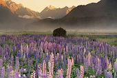 Purple Lupine Flower With Mountain Background Morning View, New Zealand Natural Landscape Background poster