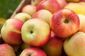 Pile Of Ripe Yellow And Red Ripe Apples poster