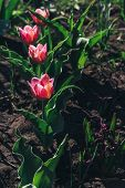 Several Nice Red Tulips With Green Leaves Growing In Garden On Spring Sunny Day. Four Pink-red Tulip poster