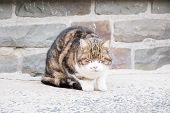 Lovely Cat Female And Look Healty In Tricolors With White ,black And Brown ,small Size, Furry, Carni poster