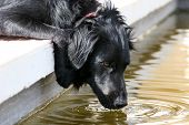 Black Dog Drinking From A Fish Pond