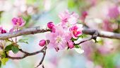 Apricot Tree Flower Blossom Macro View. Blossoming Pink Petals Fruit Tree Branch, Tender Blurred Bok poster