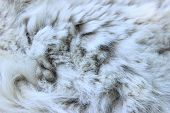Wildlife, Animals, Textures Concept. Cropped Shot Of White Fur. Gray-white Fur Close Up. Fur Texture poster