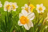 Summer Flowers Daffodils Blooming In The Summer Garden. Summer Flower Landscape With Blooming Summer poster
