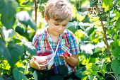 Cute Little Kid Picking Fresh Berries On Raspberry Field. Child Pick Healthy Food On Organic Farm. L poster