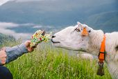 Sheeps On A Mountain Farm On A Cloudy Day. A Woman Feeds A Sheep In The Mountains Of Norway. A Touri poster