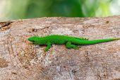 Beautiful Green Gecko Phelsuma, Phelsuma Madagascariensis, Basking In The Sun, Farankaraina Tropical poster