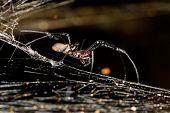 Relative Big Spider Nephilengys Livida, Nephilid Spider, Common In Human Dwellings. Masoala National poster